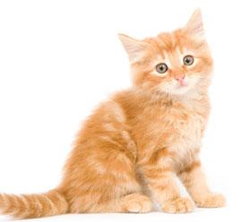 Getting a new kitten